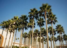 LA palm trees
